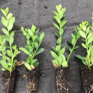 Wij verkopen vanaf 1 maart tot aug mooie gewortelde ilex crenata stek met 1 of 2 planten per plug,