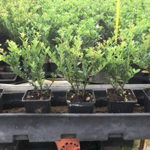 Ilex crenata Green Hedge 15/20 cm met 2 planten per pot