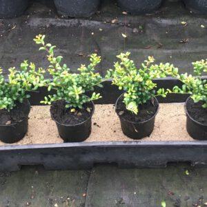 Ilex crenata Convexa zeer compact met 2 planten per pot.