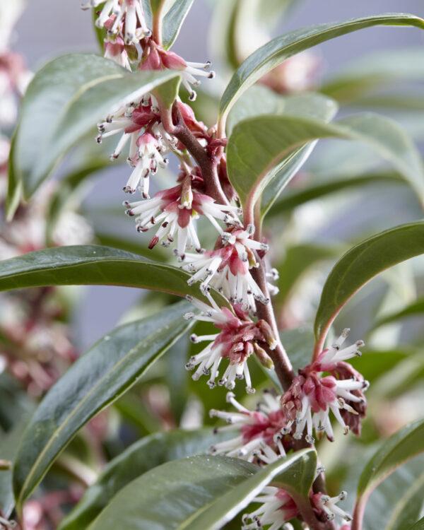 Sarcococca humilis Winter Gem, een nieuwe groenblijvende geurende Buxusvervanger