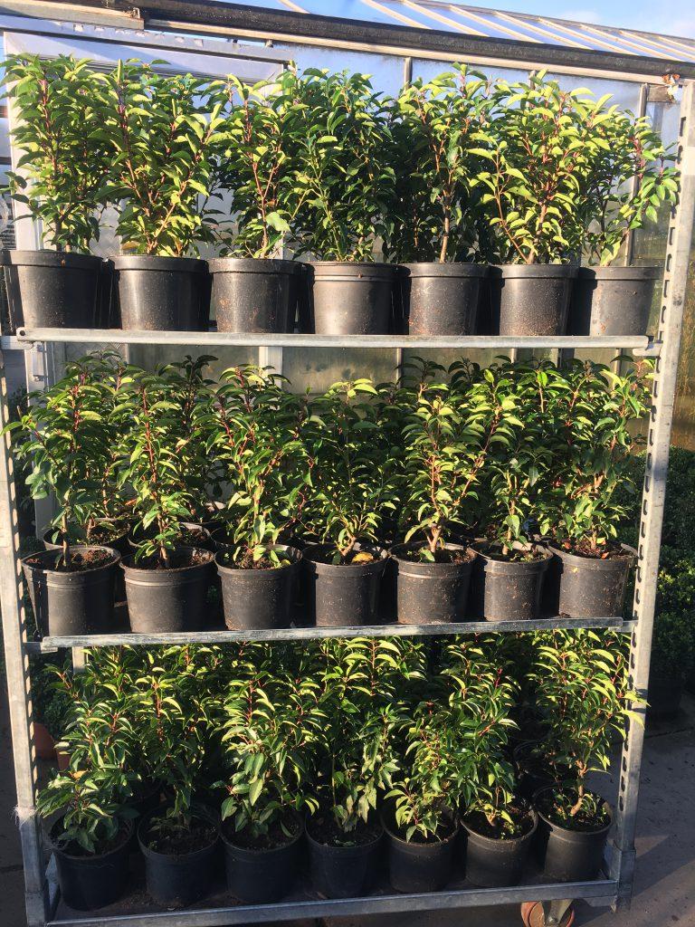 Portugese laurier, voor mooie strakke lage of hoge groenblijvende hagen
