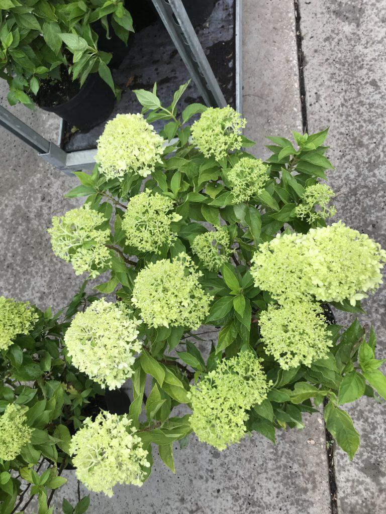 Hydrangea paniculata Little Spooky in 5 liter pot. Vol bloemen en knoppen van mei tot okt