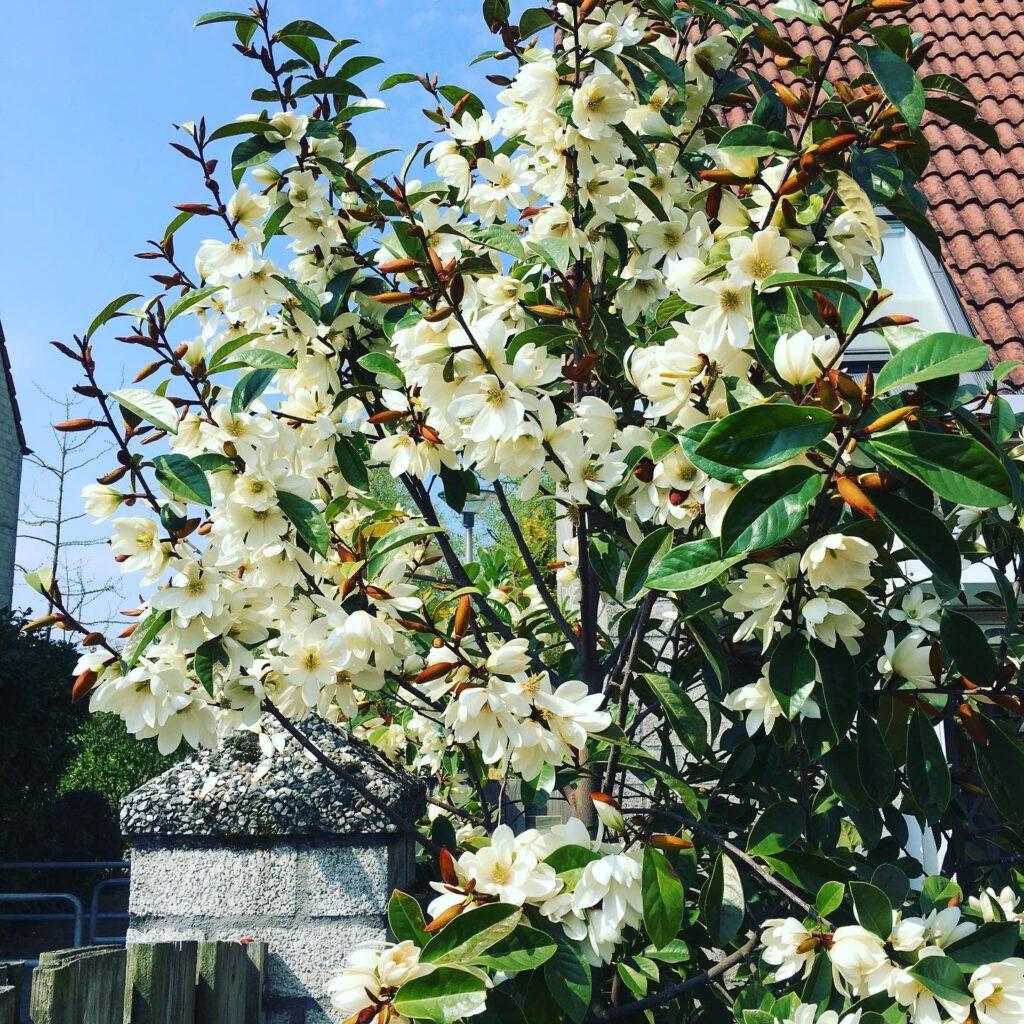 Michelia rijkbloeiende groenblijvende Magnolia, na 7 jaar al 1000 bloemen