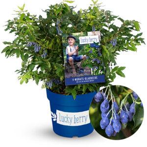 Vaccinium Lucky Berry - blauwe bes - 120 dagen vruchten