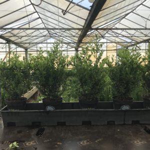 ILEX crenata Dark Green in 14 cm pot en 20/30 en 30/40 cm hoogte verkrijgbaar