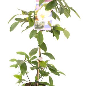 Groenblijvende geurende magnolia