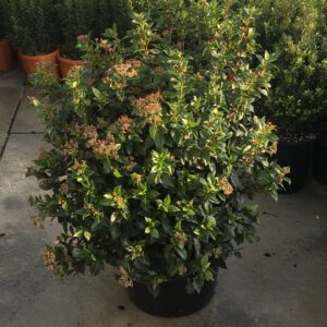 Viburnum Tinus 4 seizoenen groenblijvend en mooi