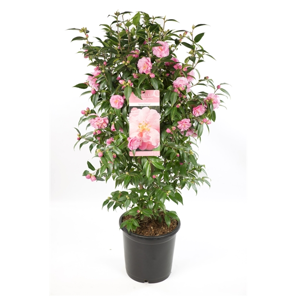 Camilia Spring Festival, rijkbloeiende groenblijvende plant