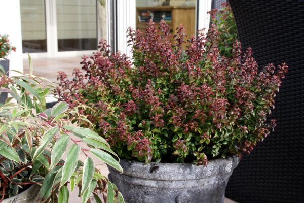 Leucothoe twisting red, mooi, aparte groei