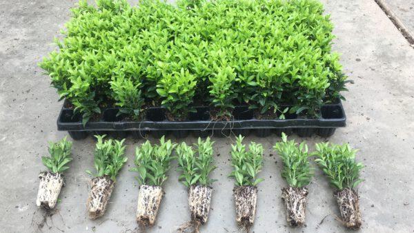 topkwaliteit Euonymus Green Spire, 1x getopte, 2 plantjes in één plug