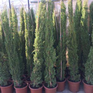 """Cupressus sempervirens """"Pyramisais -Italiaanse Cipres tot 175-200 cm"""