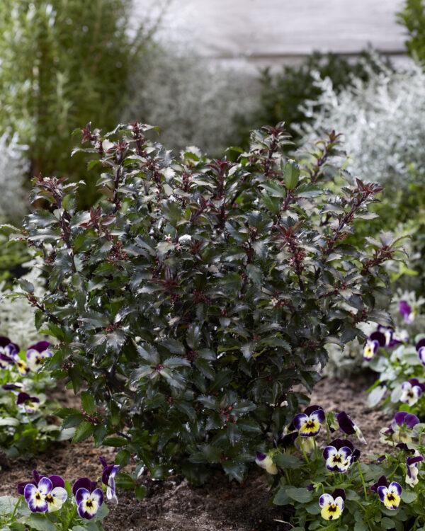 Ilex x meserveae Gentle, winterhard -25 , wintergroene plant