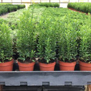 """Euonymus Japonicus """"Green Spire'' in 13 cm doorsnee pot, met 7 planten per pot, u plant er 6 of 7 per strekkende m1, wat vind u het mooist"""