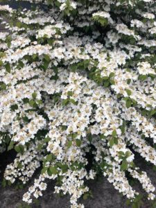 Viburnum kilimandjaro, bloeit van mei-aug