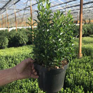 Grote 19 cm pot Euonymus Green Spire, met 15 planten in één pot, met 5 per meter een zeer strakke haag