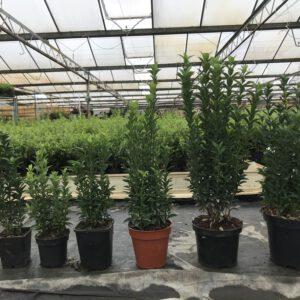 Onze toppers van Euonymus Green Spire, de 2e van rechts is deze maat, 15 cm pot