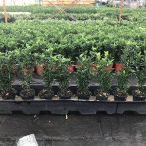 100 cm plantenbakken, staan over de hele kwekerij verdeelt, zodat u zelf kunt testen hoeveel potten per meter het mooist is , hier is 10 potjes het mooist