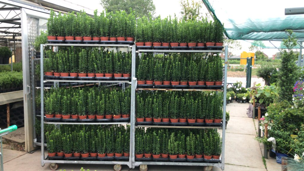 Euonymus Green Spire 13 cm oogmeting 7 plant per pot en 30-40 cm hoog