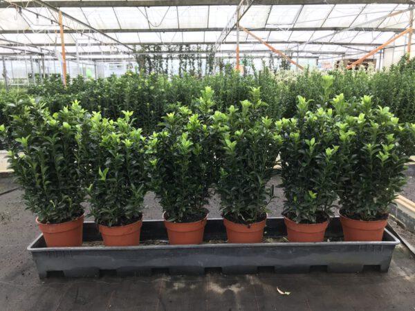 Euonymus Green spire met 7 planten in één pot, dus zeer bossig. Slechts 6 er meter.