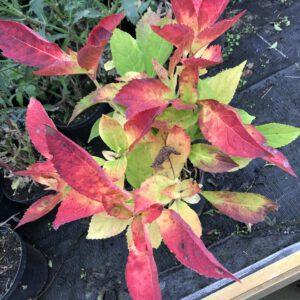 Hydrangea soort met mooie herfstkleuren, foto 1-11-2020 gemaakt