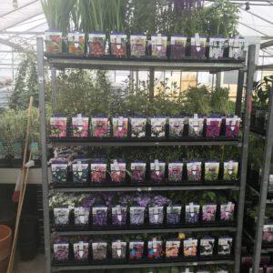 Vele vaste planten in grote 11x11 cm pot met kleuren etiket, www.buxuskoning.nl