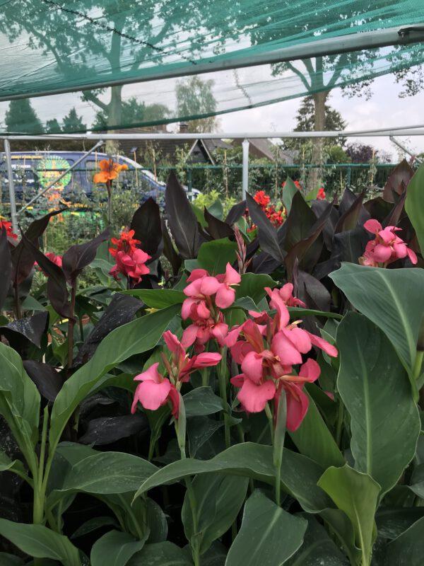 Canna indica, in diverse kleuren verkrijgbaar bij kwekerij Buxuskoning