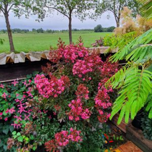 Lagerstroemia in diverse kleuren in pot