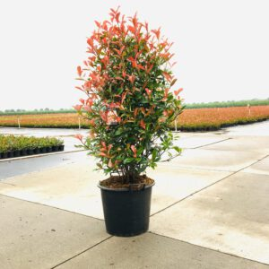 "Photinia fraserii ""Carré Rouge"" - Glansmispel"