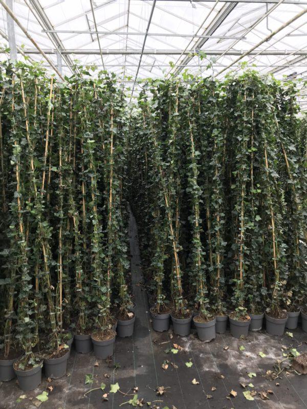 Onze langste Hedera verkrijgbaar vanaf 1 februari 200/225 in 4 liter pot