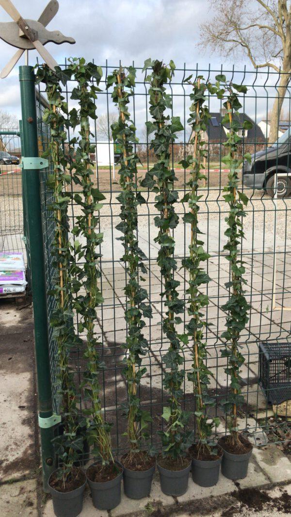 Volle Hedera hibernica, 6 planten per pot geplant, en wel 2-6 ranken bovenin, topkwaliteit van de Buxuskoning