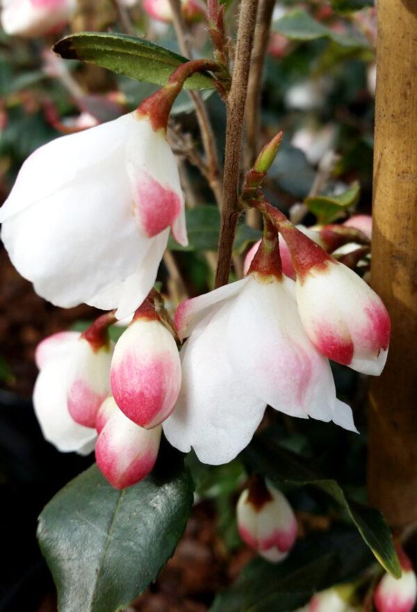 Fleurige Groenblijvende Camellia