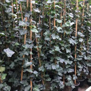 Hedera hibernica in 14 cm pot, met 4 planten per pot