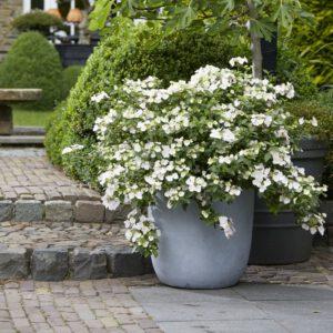 """Hydrangea macrophylla """"Runaway Bride"""" zeer rijk bloeiend van de vroege zomer tot deherfst. Met een zee van witte bloemen,"""