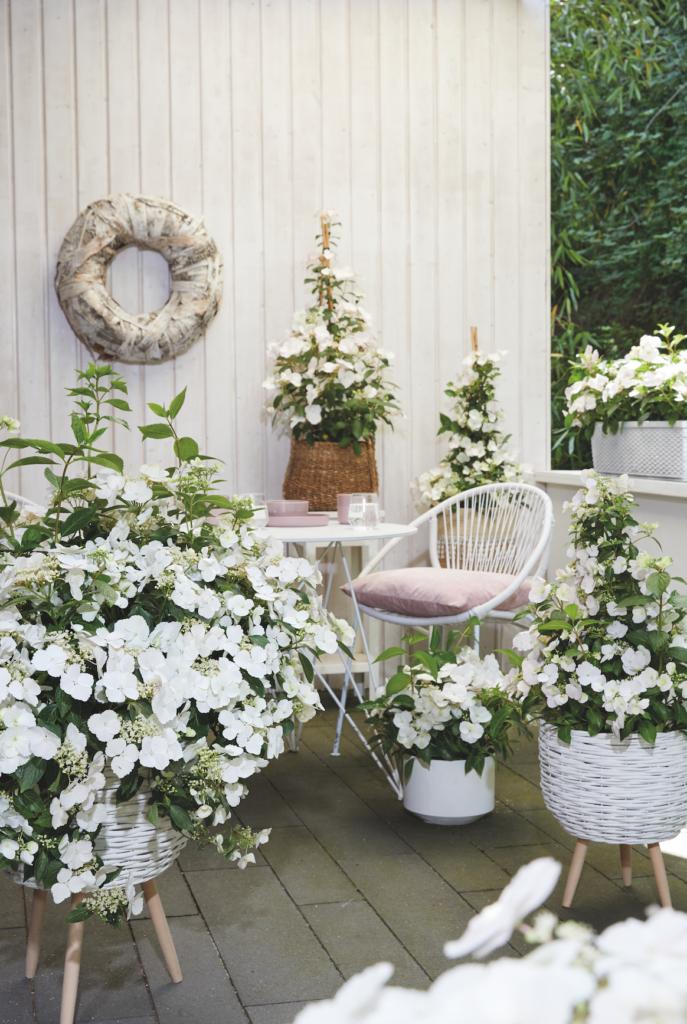De plant werd in 2018 uitgeroepen tot 'Plant of the Year' tijdens de gerenommeerde Chelsea Flower Show. Runaway Bride is nu ook verkrijgbaar in Nederland.