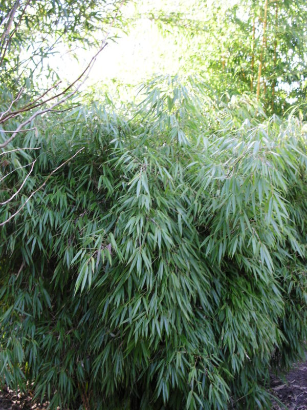 "Fargesia ""Rufa"" polvormige bamboe in 3 maten"