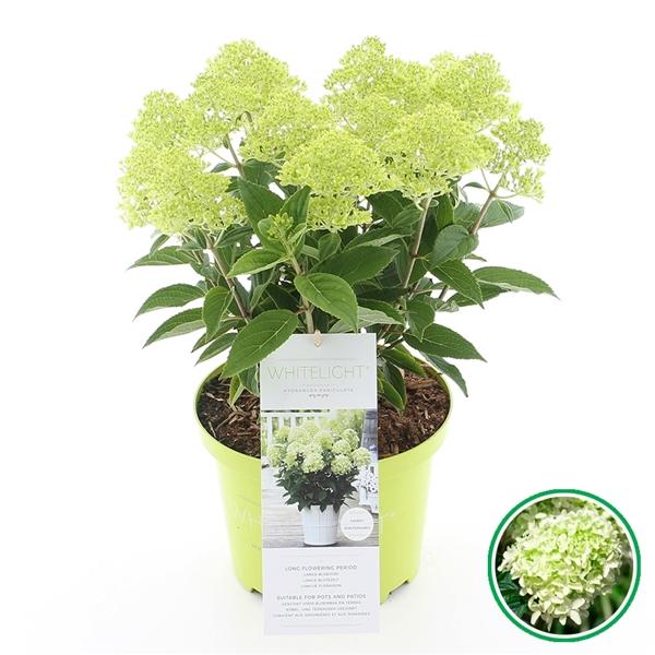 Hydrangea paniculata alweer een nieuwe topper van kwekerij Buxuskoning