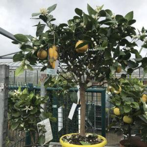 Citrus Limetta met veel heerlijk geurende bloemen, geeft mooie vruchten,