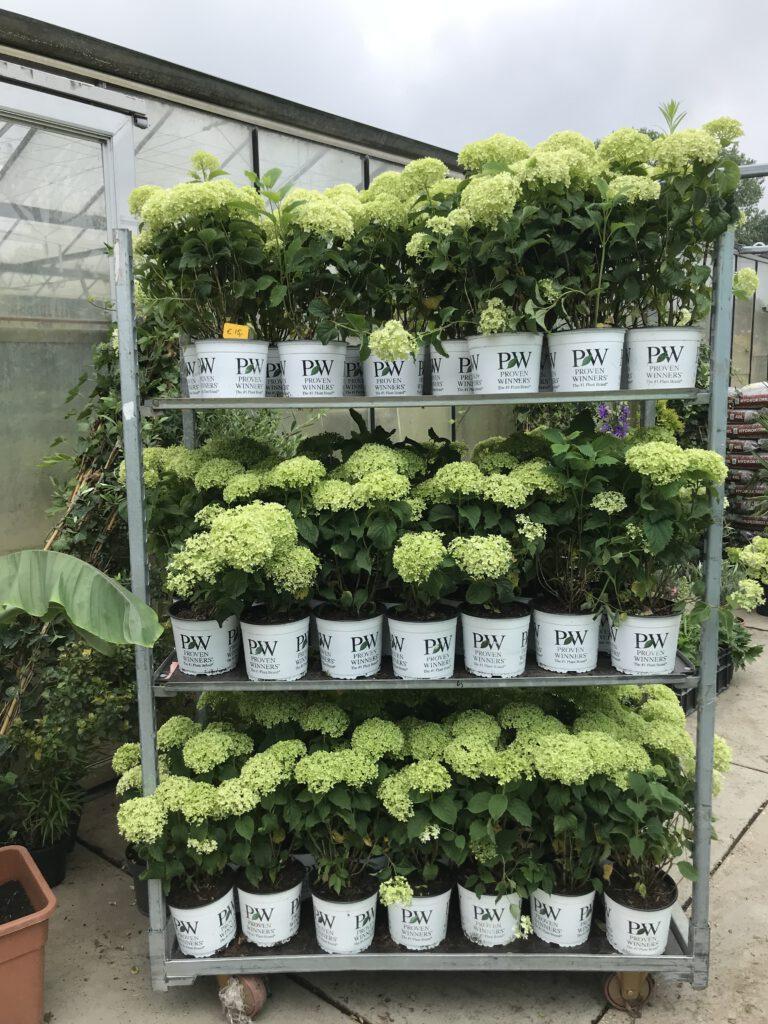 Dwerg annabelle 50 cm hoog, ideale plant voor de kleinere tuin