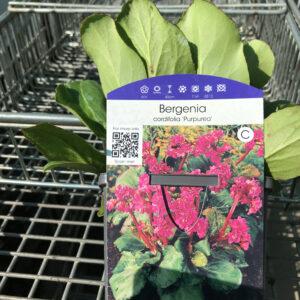 Bergenia Cordifolia, groenblijvende bodembedekker