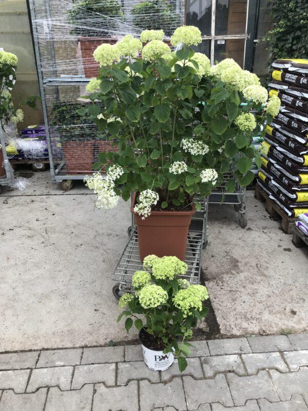 Grote 30 liter pot en kleinere 3 liter pot, dwerg Annabelle, word Max 75 cm hoog