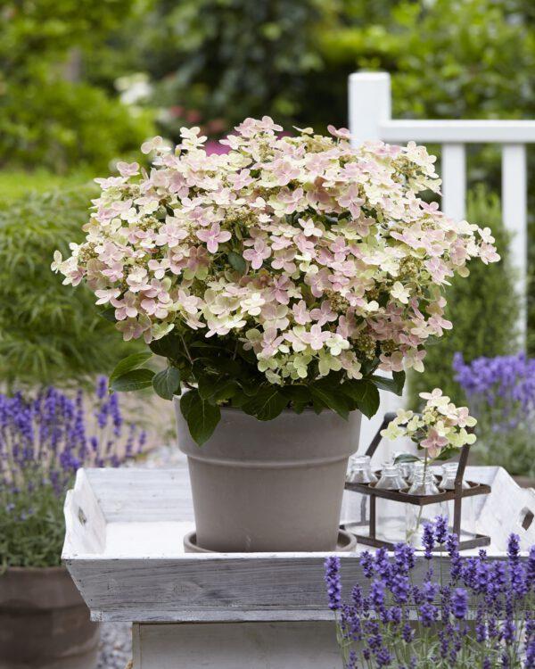 Hydrangea pan. (S)witch Ophelia een nieuweling bij tuinplantenkwekerij Buxuskoning