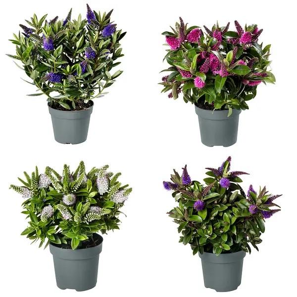 Hebe Addenda , lange bloeitijd juli-nov in diverse kleuren