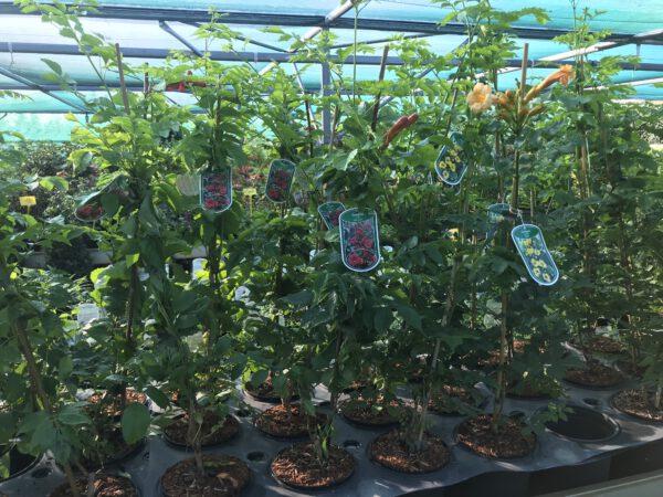 Campsis radicans, trompetplant,